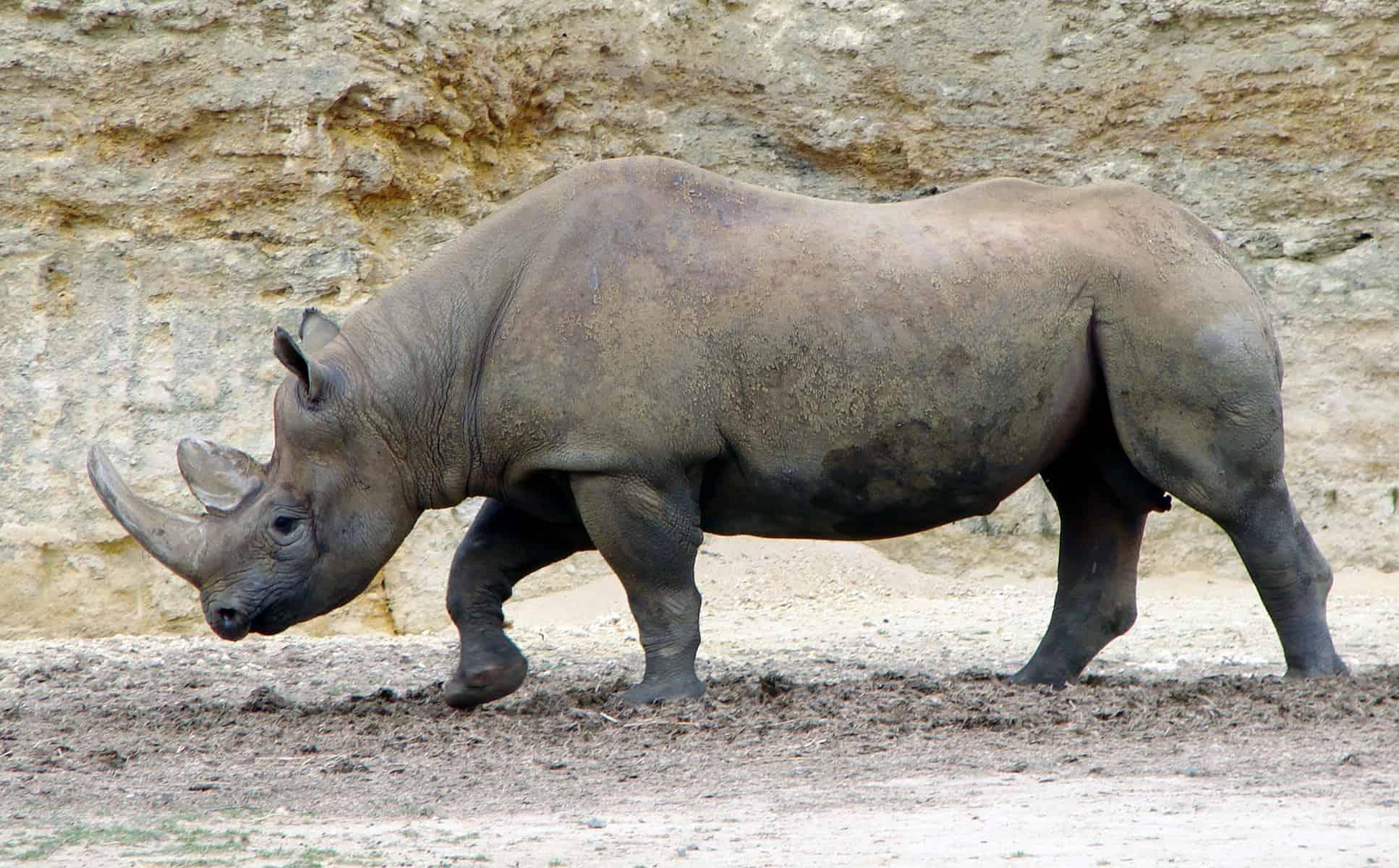 Rhinocerous on Serengeti