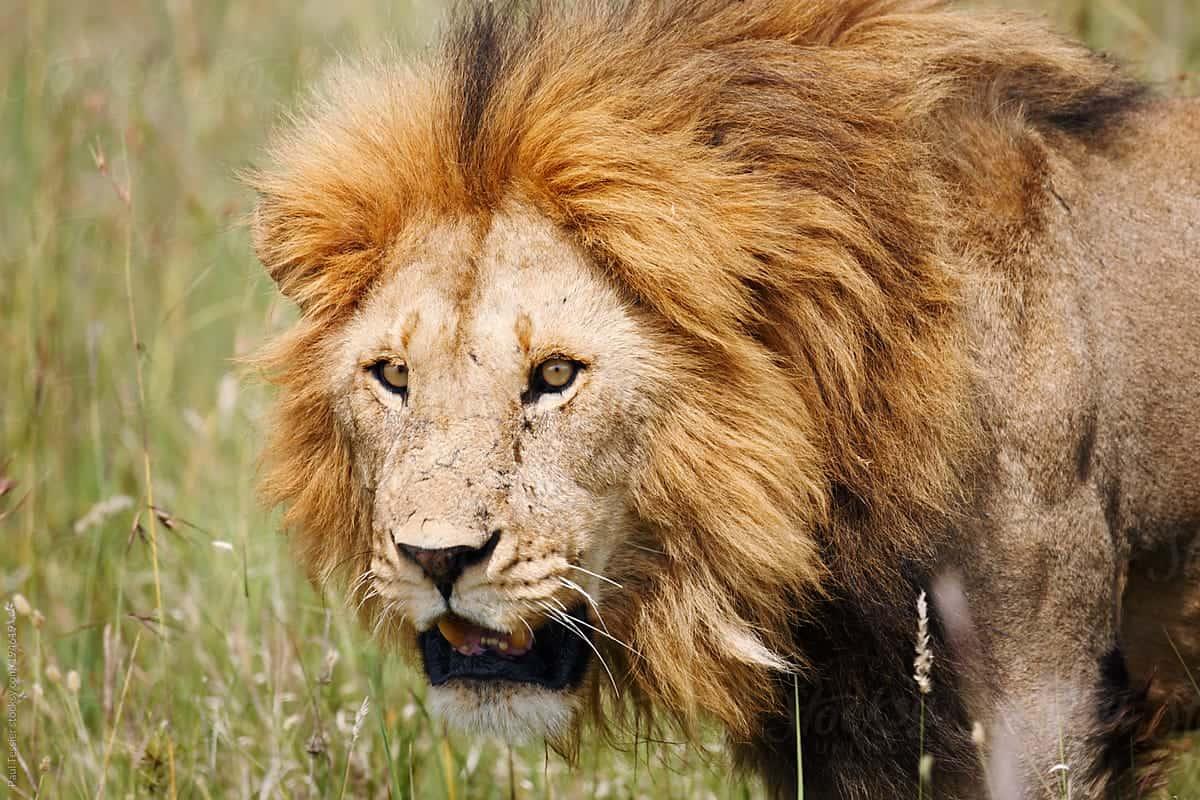 Lion on Serengeti