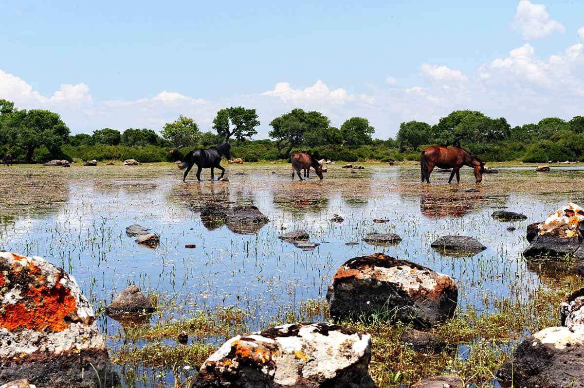 Wild horses of the Giara di Gesturi
